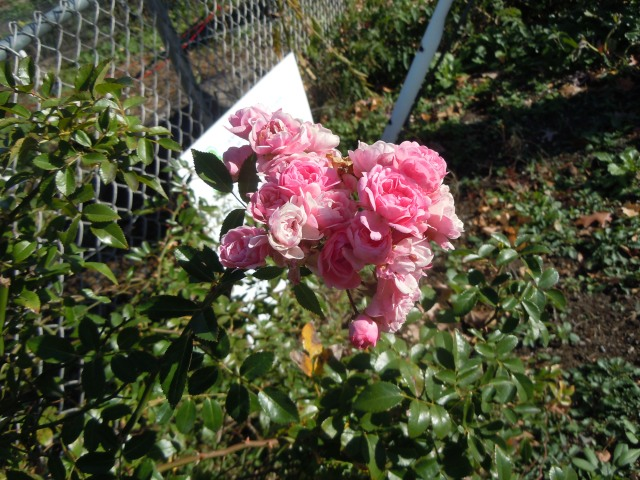 And left some roses in bloom...