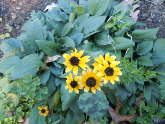 Black-eyed susans are still blooming.