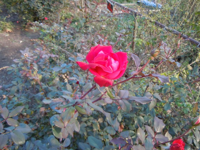 The roses are still blooming and still have buds.