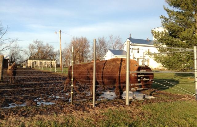 Bull and cow (partially hidden)